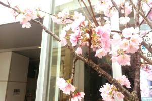 麻布十番の事務所の近くの桜