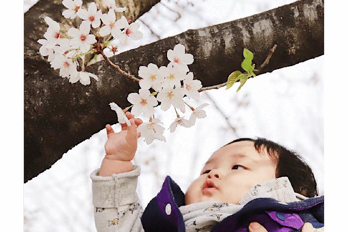 米太郎と桜