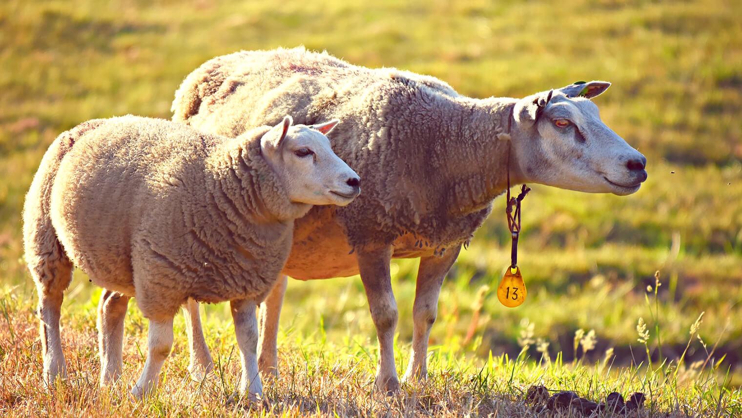 羊が2匹仲良く並んだ画像
